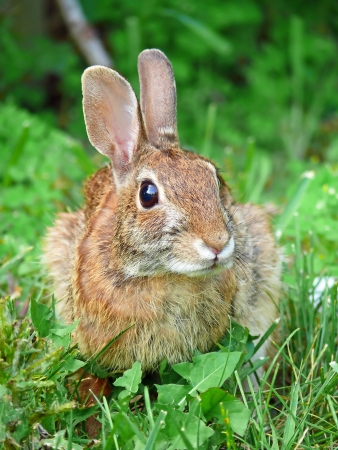 Eastern Cottontail rabbit sitting in vegetation in Maryland during the Spring