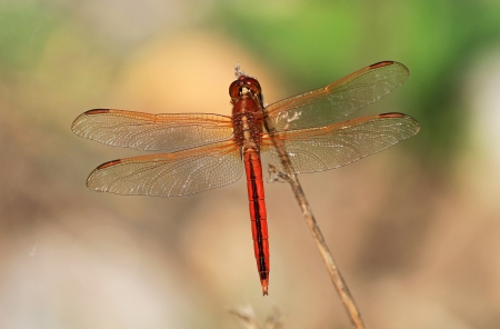 Male Needhams Skimmer dragonfly perching on a twig by a lake in Washington DC  during the summer