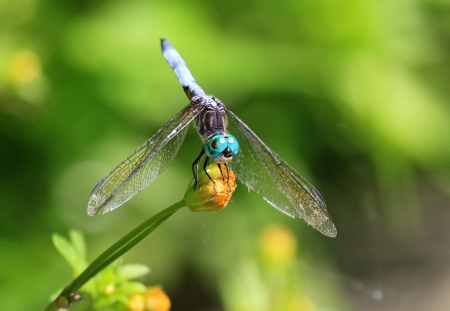 Male Blue Dasher dragonfly resting on a wildflower stem in Maryland during the Summer