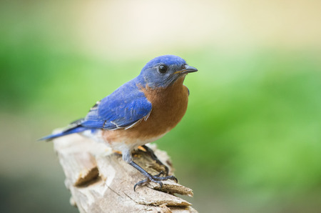 Eastern Bluebird Sialia sialis perching on a branch in Maryland during the Spring