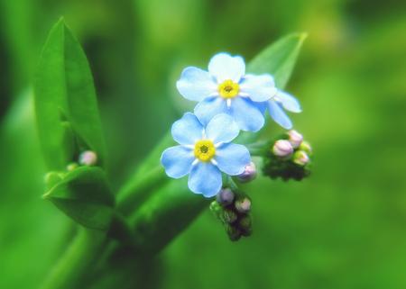 Forget-me-not flowers Myosotis sylvatica growing in Gloucestershire, England