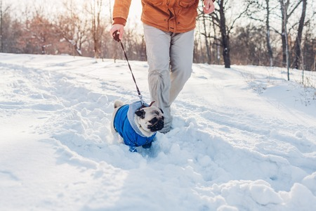 Pug dog walking on snow with his master. Puppy wearing winter coat. Clothes for animals