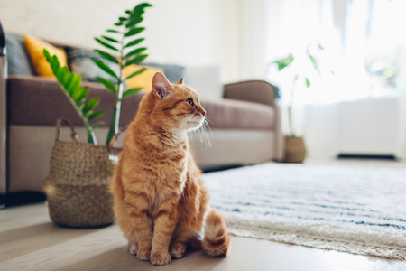 Photo pour Ginger cat sitting on floor in cozy living room. Pet walking at home. Interior decor - image libre de droit