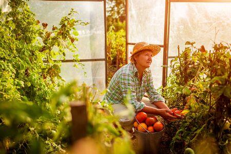Foto für Senior woman farmer gathering crop of tomatoes at greenhouse on eco farm. Farming, gardening concept. Working in hothouse - Lizenzfreies Bild
