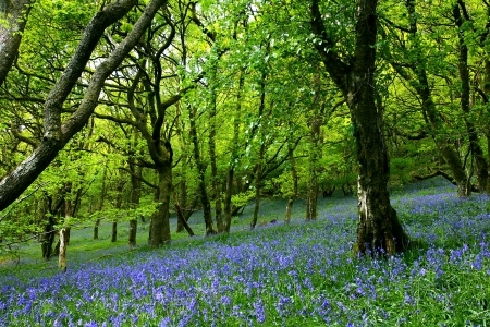 An ancient bluebell forest in the Cambrian Mountains, Wales, U.K.