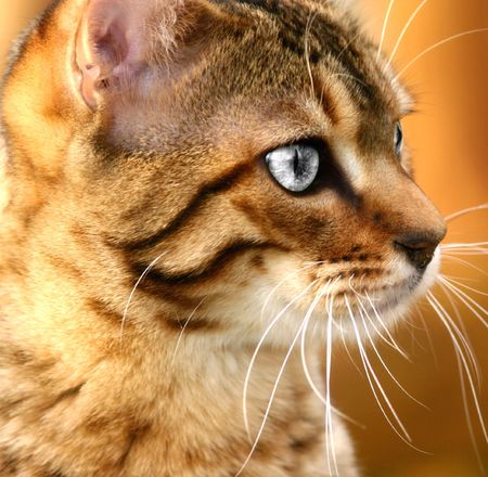 Face of a golden Bengali special breed kitten with desaturated eyes.