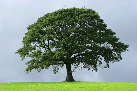 Oak tree in full leaf in summer standing alone in a field against a steel grey stormy sky.