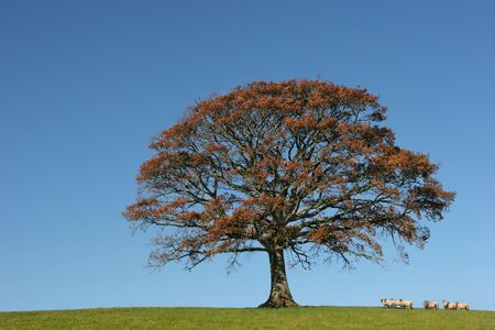 Oak tree in Autumn in a field with a herd of sheep, set against a clear blue sky.