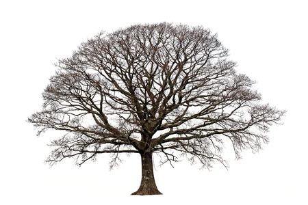 Oak tree in winter devoid of leaves set against a white background.