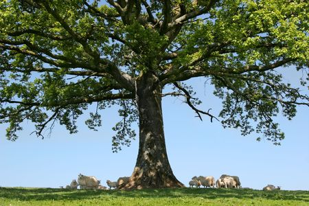 Spring lambs and sheep sheltering in the shade under the branches of an oak tree.