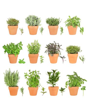Large herb plant selection growing in terracotta pots with leaf sprigs. Rosemary, mint, bay, parsley, basil, oregano, purple sage, golden thyme, silver thyme, lavender, common thyme, variegated sage. Over white background.