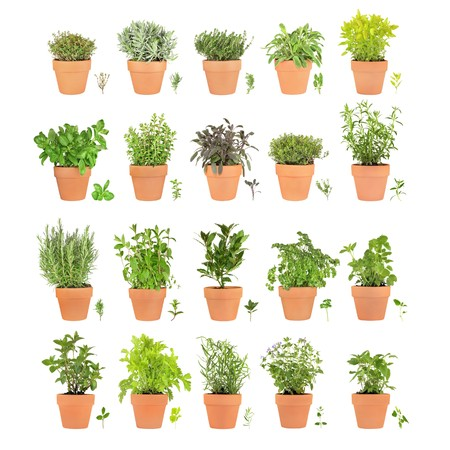 Large herb selection growing in terracotta pots with leaf sprigs over white background.