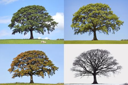 Oak tree time lapse in the four seasons of spring, summer, fall and winter in rural countryside all set against a blue sky.