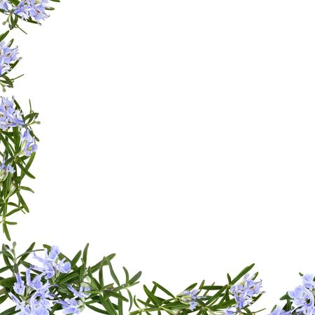 Rosemary herb flowers forming an abstract frame isolated over white background.