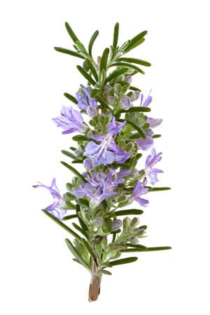 Photo for Rosemary herb leaf sprig in flower isolated over white background. - Royalty Free Image