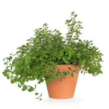 Oregano herb plant growing in a terracotta pot, isolated over white background.