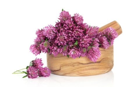 Red clover herb flower blossom arrangement in an olive wood mortar with pestle, and scattered, isolated over white background. Trifolium pratense.