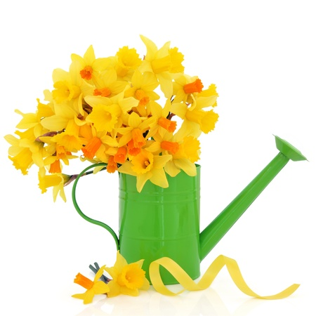 Daffodil and narcissus spring flowers in a green metal watering can and scattered with yellow ribbon  isolated over white background.