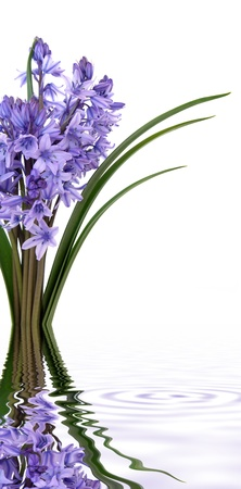 Bluebell flowers in a bunch  with reflection over white background