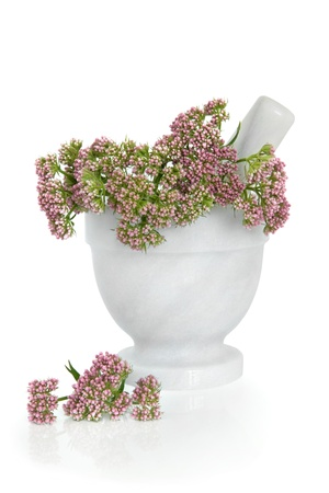 Valerian herb flower sprigs in a marble mortar with pestle with scattered flowers isolated over white background  Valeriana