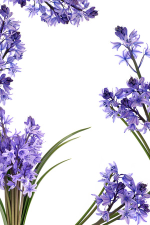 Bluebell flowers forming a border isolated over white background