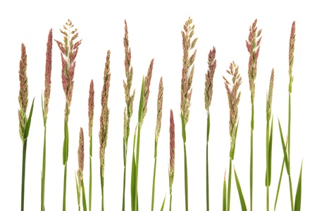 Wild meadow grass in a line over white background