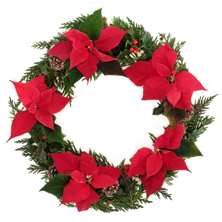 Christmas wreath of poinsettia flower heads with holly, mistletoe, ivy, pine cones and cedar leaf sprigs over white background