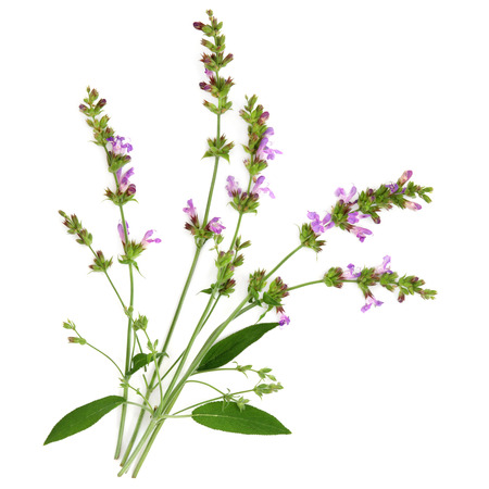 Sage herb flower and leaf sprigs over white background