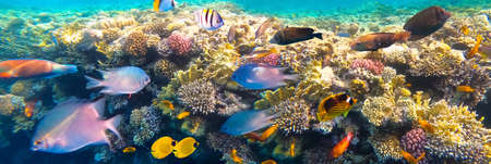 Photo pour Underwater colorful tropical fishes at coral reef at Red Sea - bluecheek butterflyfish, Pale damsel, sergiant, desjardin sailfin tangfish or Zebrasoma desjardinii - image libre de droit