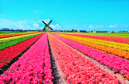Photo for Dutch windmill and colorful tulips flowers in Holland, Netherlands - Royalty Free Image