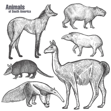 Illustration pour Animals of South America hand drawing. Maned Wolf, Tapir, Capybara, Armadillo, Anteater, Guanaco. Vintage engraving. Vector illustration art. Black and white. Object of nature naturalistic sketch. - image libre de droit