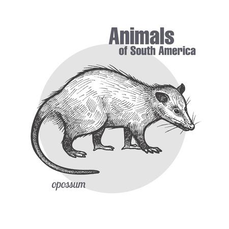 Illustration pour Opossum hand drawn animal of South America series. - image libre de droit