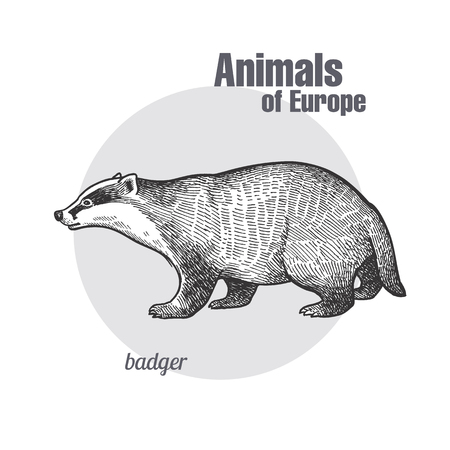Ilustración de Badger or brock hand drawing. Animals of Europe series. Vintage engraving style. Vector art illustration. Black graphic isolate on white background. The object of naturalistic sketch. Object wildlife - Imagen libre de derechos