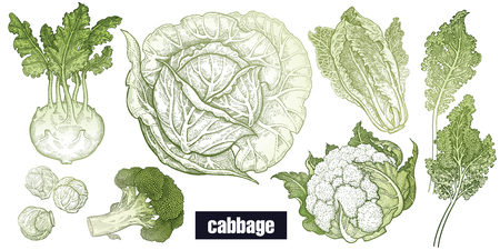 Illustration pour Various cabbage set. White cabbage, broccoli, Brussels sprouts, cauliflower, Chinese cabbage, kohlrabi, leaf cabbage. Hand drawing sketch. Green and white. Vector illustration art. Vintage engraving. - image libre de droit