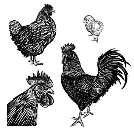 Illustration pour Chicken, rooster, hen and and cock head closeup isolated on a white background. Domestic birds. Farm animals series. Vector illustration of poultry. Black and white graphics. Vintage sketch. - image libre de droit