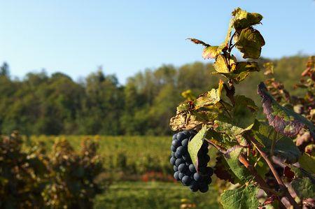 a vineyard of Merlot grapes in September