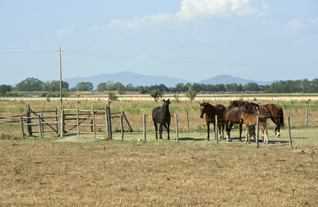 Alberese (Gr), Italy, some horses grazing in the Maremma Regional Park