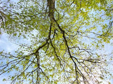 Foto de View of the sky and sun through the branches of a lone trees in early spring - Canton of Zürich (Zurich or Zuerich), Switzerland (Schweiz) - Imagen libre de derechos
