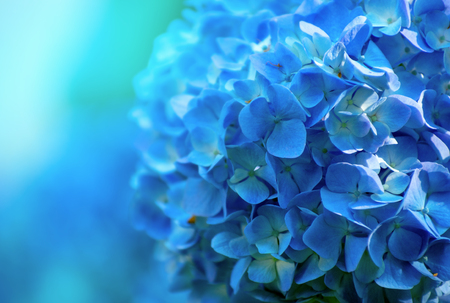 Photo pour hydrangea flowers close up - image libre de droit
