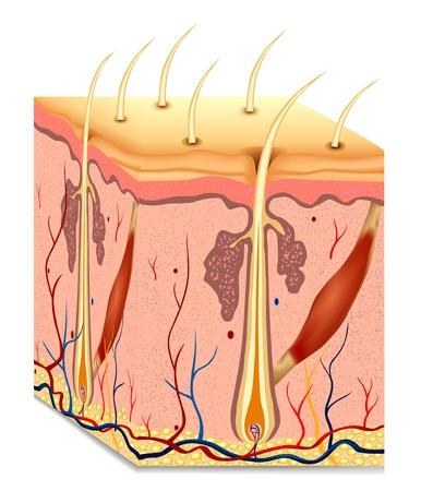 Illustration pour Human hair structure anatomy illustration  - image libre de droit