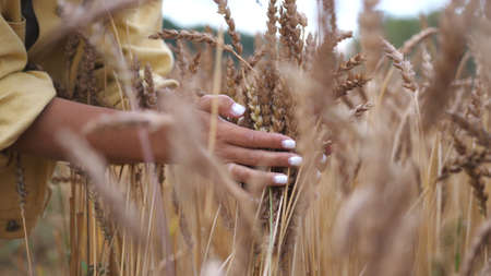 Photo pour Woman Walks and Touches Wheat Ears on Dried Yellow Crop Field - image libre de droit