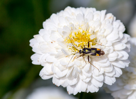 Bug, insect on a Blossoming Chamomile, Roman (Anthemis Nobilis) white flower, dark green background