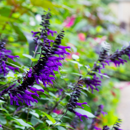 Salvia amistad large growing Sage with huge violet purple flowers Lamiaceae in flower border with bright colorful background