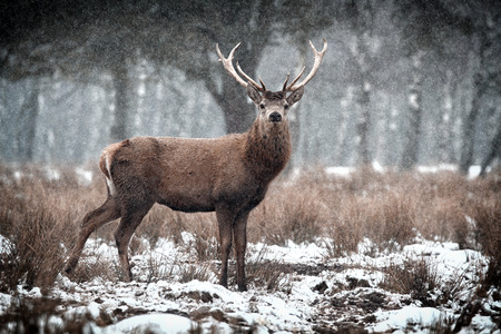 Red Deer Stag  Cervus elaphus   in the Scottish Winter Snow