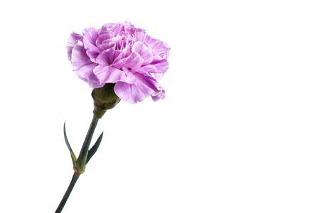 Foto für Purple carnation on a white background, isolate. Close-up. Copy space - Lizenzfreies Bild
