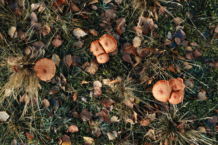 Edible Mushrooms (oily) close-up in the forest on bluish moss. The concept of a mushroom season. view from above