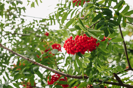 Photo for Red mountain ash on a branch, macro photo with selective focus - Royalty Free Image