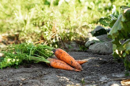 Foto de Fresh orange carrots lies on the garden bed, close-up, organic vegetables. The concept of a garden, cottage, harvest - Imagen libre de derechos
