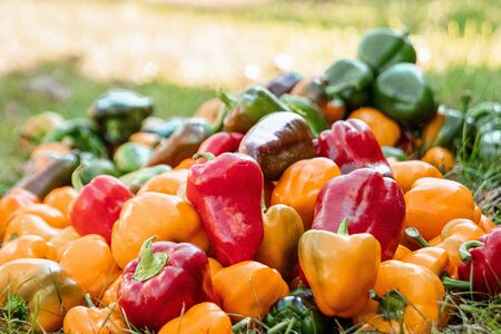 Photo for A bunch of bell peppers of different colors, organic vegetables. The concept of a garden, cottage, harvest - Royalty Free Image