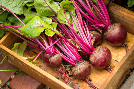 Fresh organic beets just picked from the garden shot in a wooden bin. The beets have been washed.